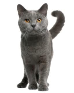 kisspng-chartreux-maine-coon-british-shorthair-european-sh-cat-5a6fd2408a9335.5995948015172777605676-1541858566@x1600.png